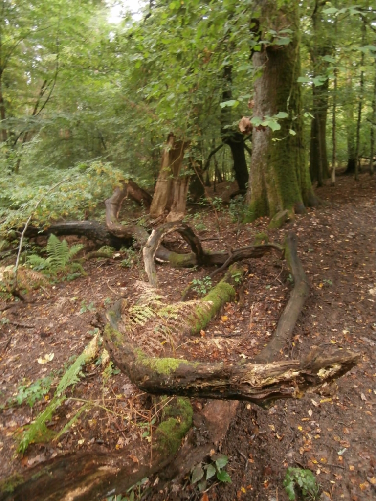 A curved fallen tree trunk on the forest floor.