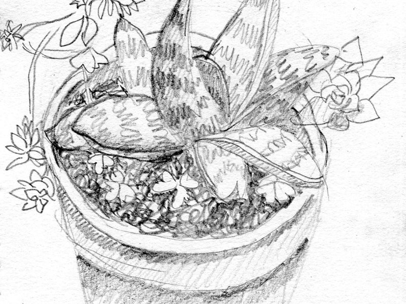 A pencil drawing of a succulent houseplant.